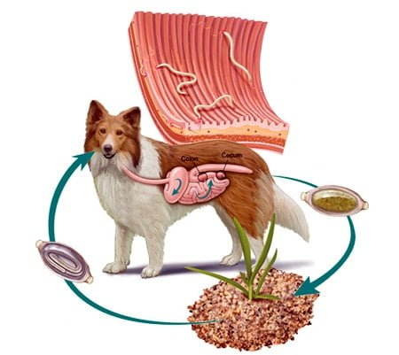 ciclo de contagio de parásitos en perros