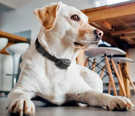 perro con collar eléctrico antiladridos