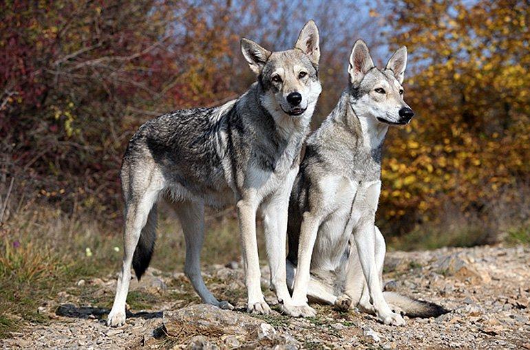Perro-lobo-de-Saarloos