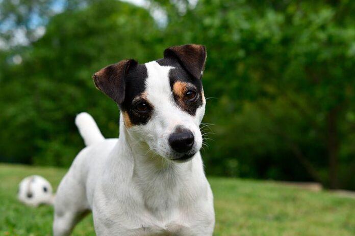 bodeguero-andaluz-perro