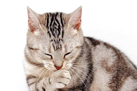 gato con mucha tos