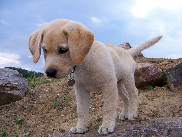 cachorro-de-labrador