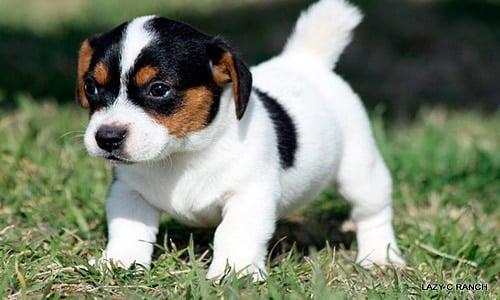 cachorro de perro bodeguero andaluz