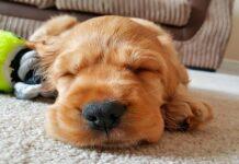 cachorro-durmiendo
