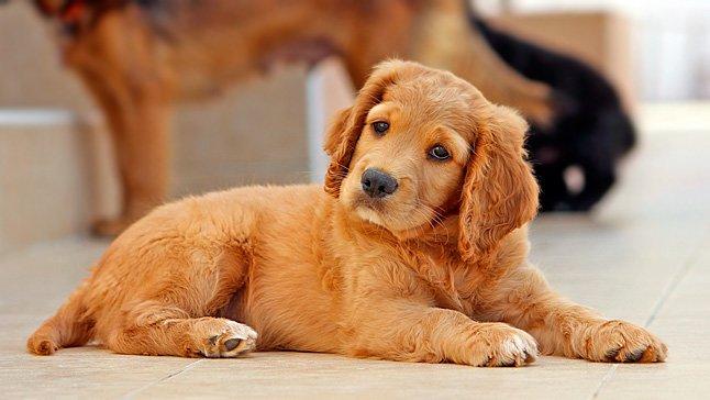 cachorro-escuchando
