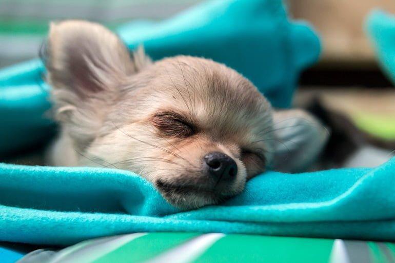 chihuahua-con-ataxia-descansando-en-su-cama