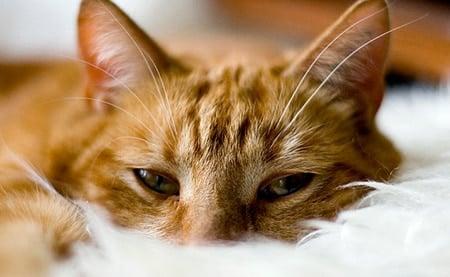 gato tumbado