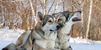 pareja-de-Perros-lobo-de-Saarloos
