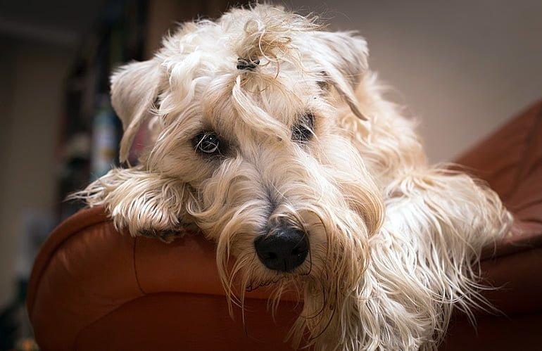 perrita-enferma-de-cisititis-descansando-en-el-sofa