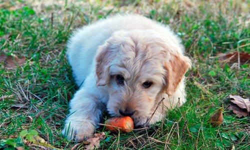perro-comiendo-zanahoria
