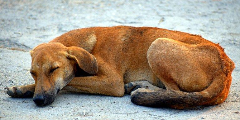 perro-con-Amiloidosis-duermiendo