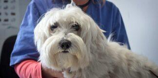 perro-con-Amiloidosis-en-el-veterinario