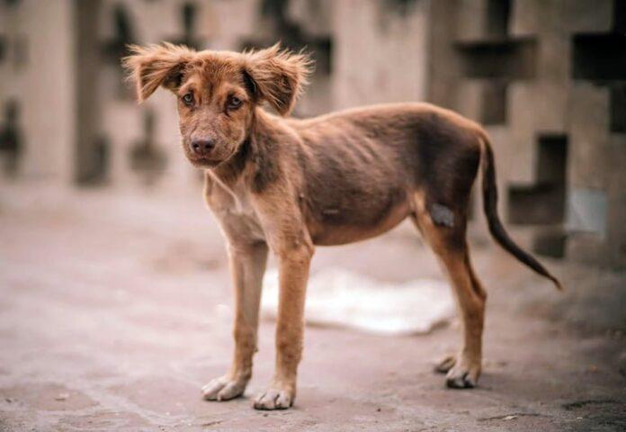 perro-con-anorexia