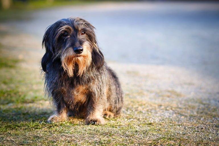 perro-con-hepatitis