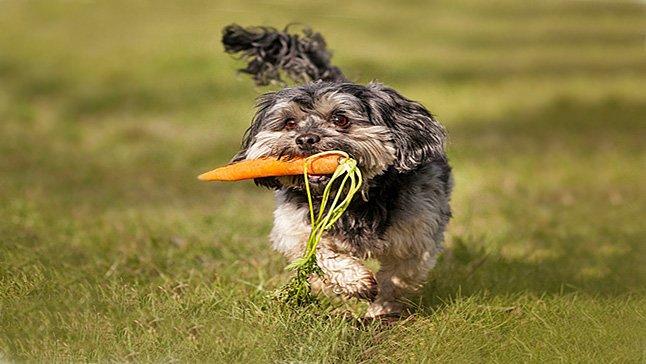 perro-con-zanahoria