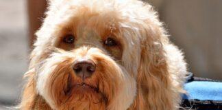 perro-de-asistencia