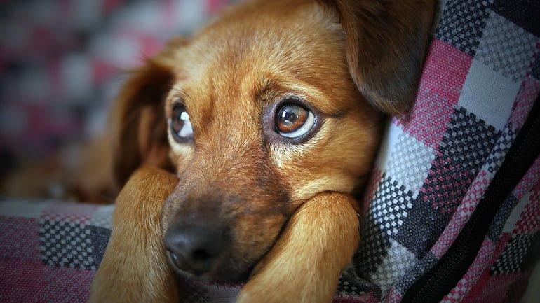 perro-decaido