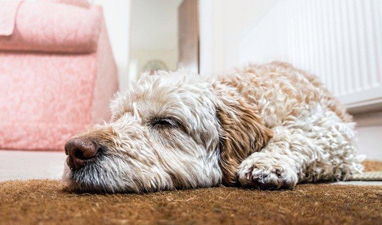 perro-descansando-en-la-alfombra