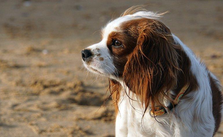 perro-desorientado-con-síntomas-de-ataxia