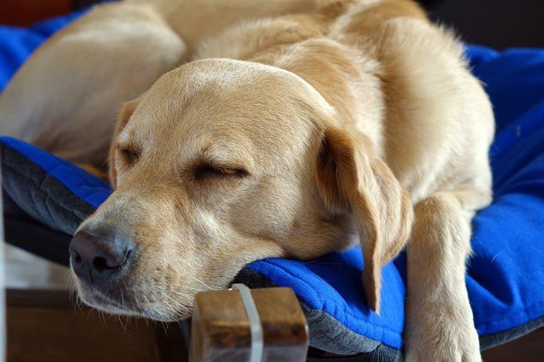 perro-dormido-con-la-cabeza-fuera-de-la-cama