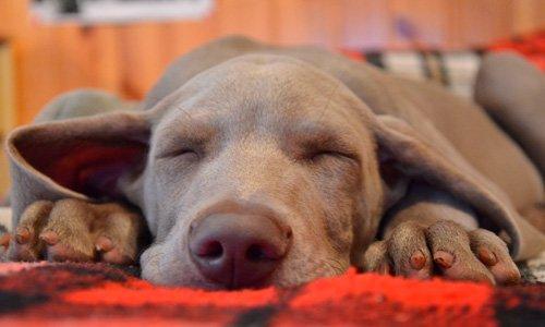 Combien d'heures un chien dort-il par jour?