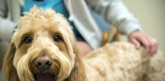 perro-en-clínica-veterinaria