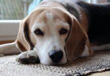 perro-enfermo-con-edema-pulmonar