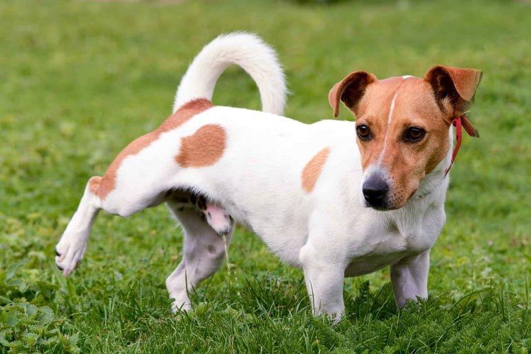 perro-haciendo-pis