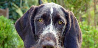 perro-mayor-con-ataxia
