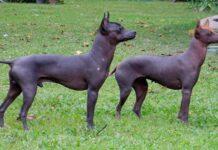 perro-pila-argentino