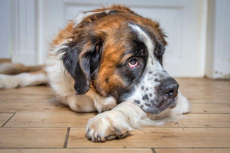 perro-san-bernardo-tumabdo-y-descansando