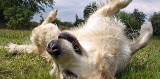 perro-se-revuelca-sobre-la-hierba