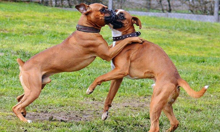 perros-boxer-jugando