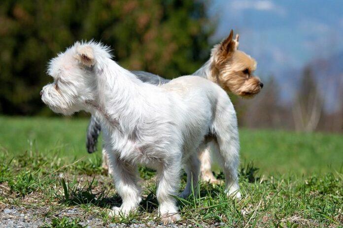 perros-pequeños-jugando