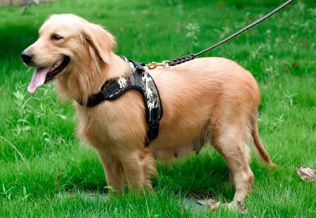 perro con arnés clásico