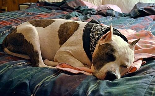 Pitbull durmiendo en la cama