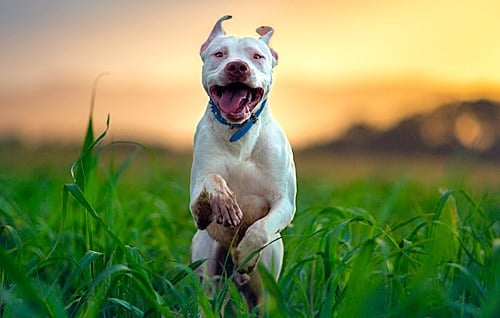Pitbull corriendo
