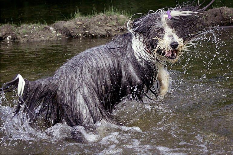Bearded-collie-jugando-en-el-agua