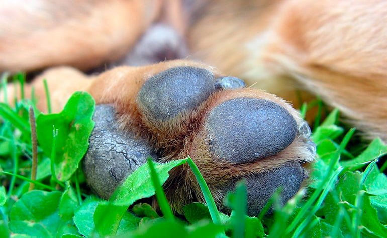 almohadiññas-y-uñas-de-perro