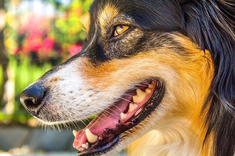 bigotes-de-un-perro--pastor
