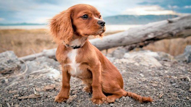 cachorro con parasitos