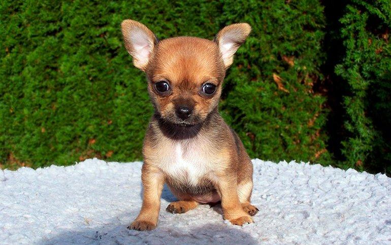 cachorro-de-chihuahua
