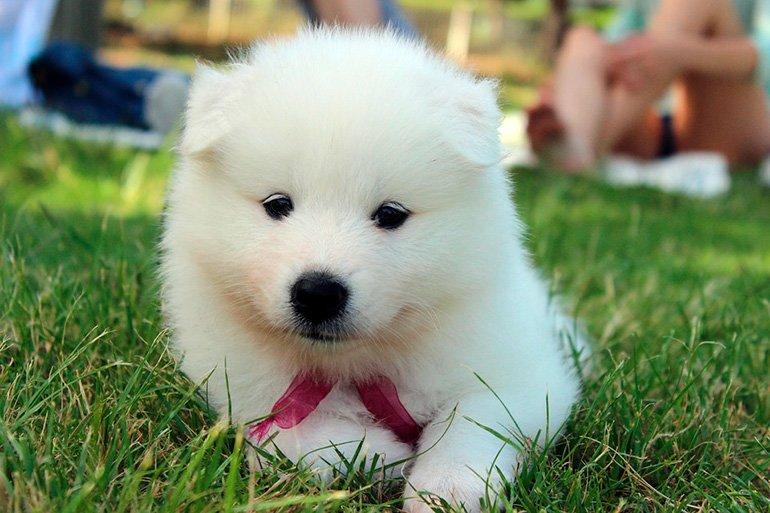 cachorro-de-samoyedo