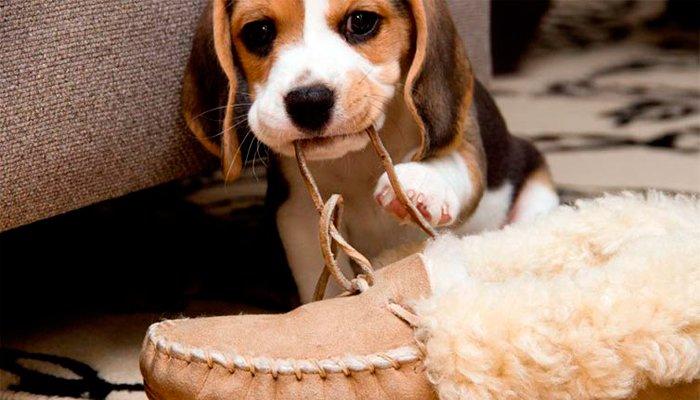 cachorro mordiendo cordones