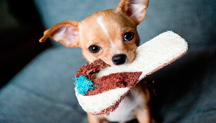 cachorro-mordiendo-zapatilla
