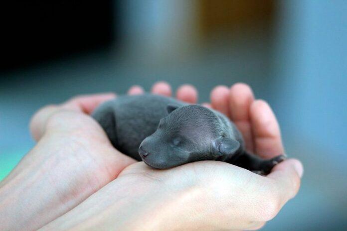 cachorro-recien-nacido-en-manos-de-su-humano