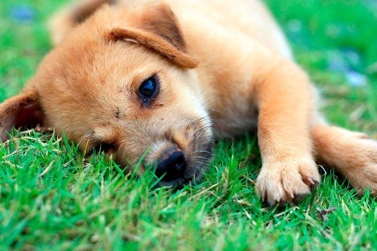 cachorro-tumbado-sobre-su-oreja