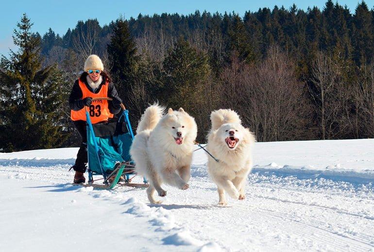 dos-perros-Samoyedo-tirando-de-un-trineo