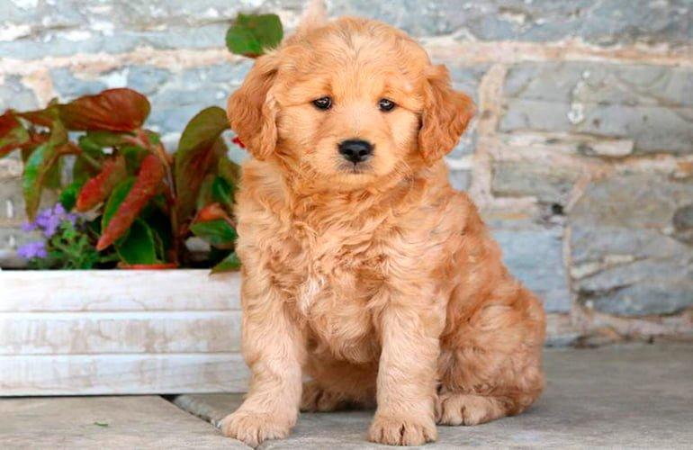 goldendoodle-cachorro