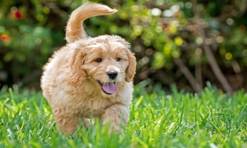 chien Goldendoodle